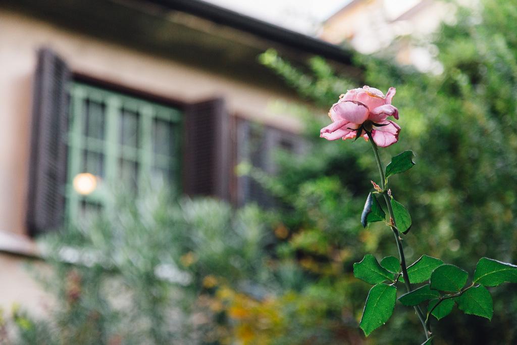 Il dettaglio di una rosa sbocciata